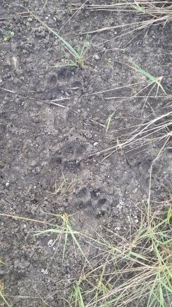 Critter tracks.